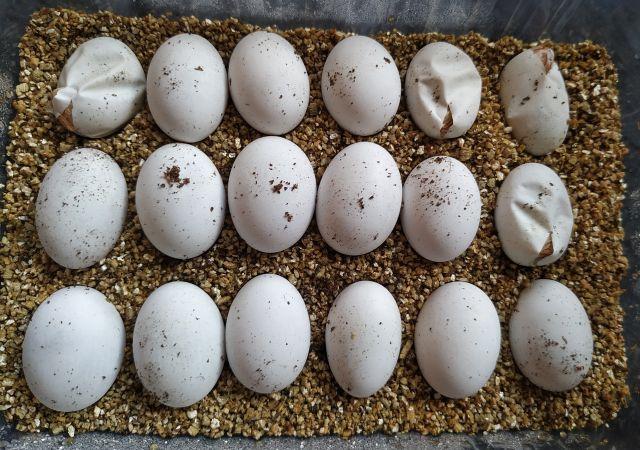 Wykluwanie i inkubacja jaj agamy brodatej w inkubatorze