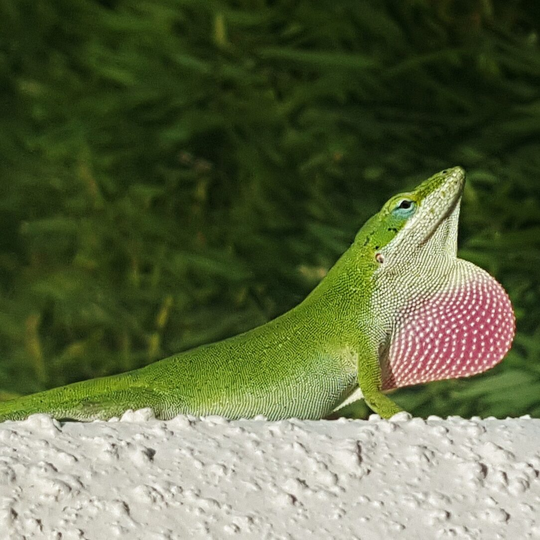 Dorosły anolis zielony wykonuje sygnał godowy