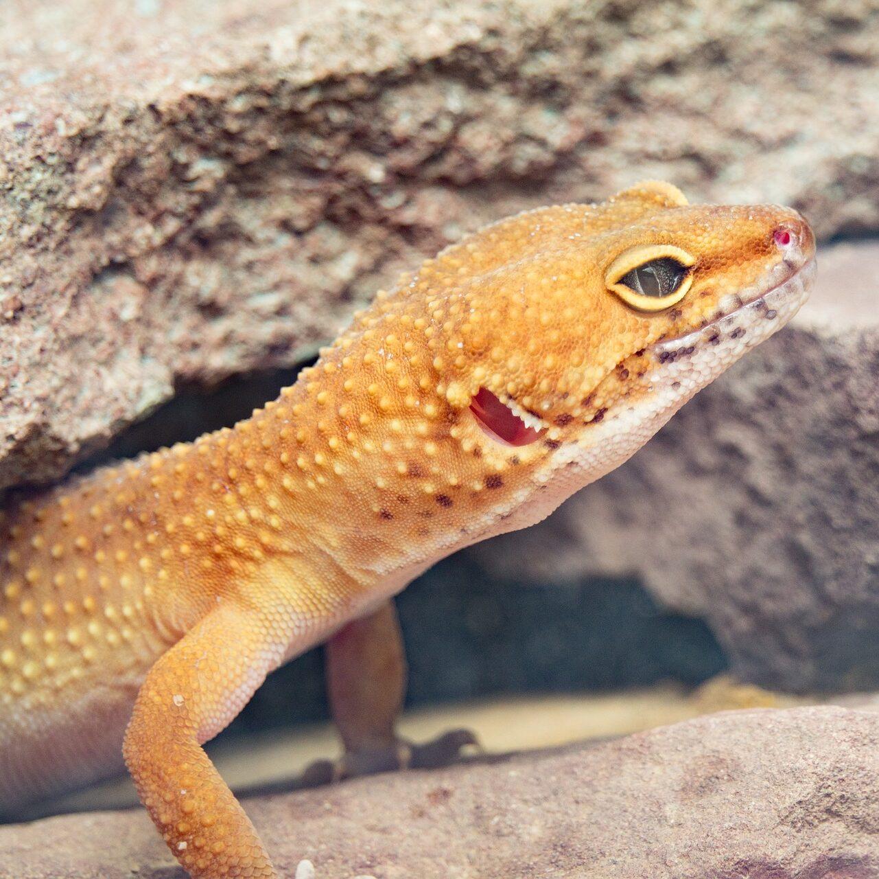 Gekon orzęsiony hypo wychodzący z kryjówki
