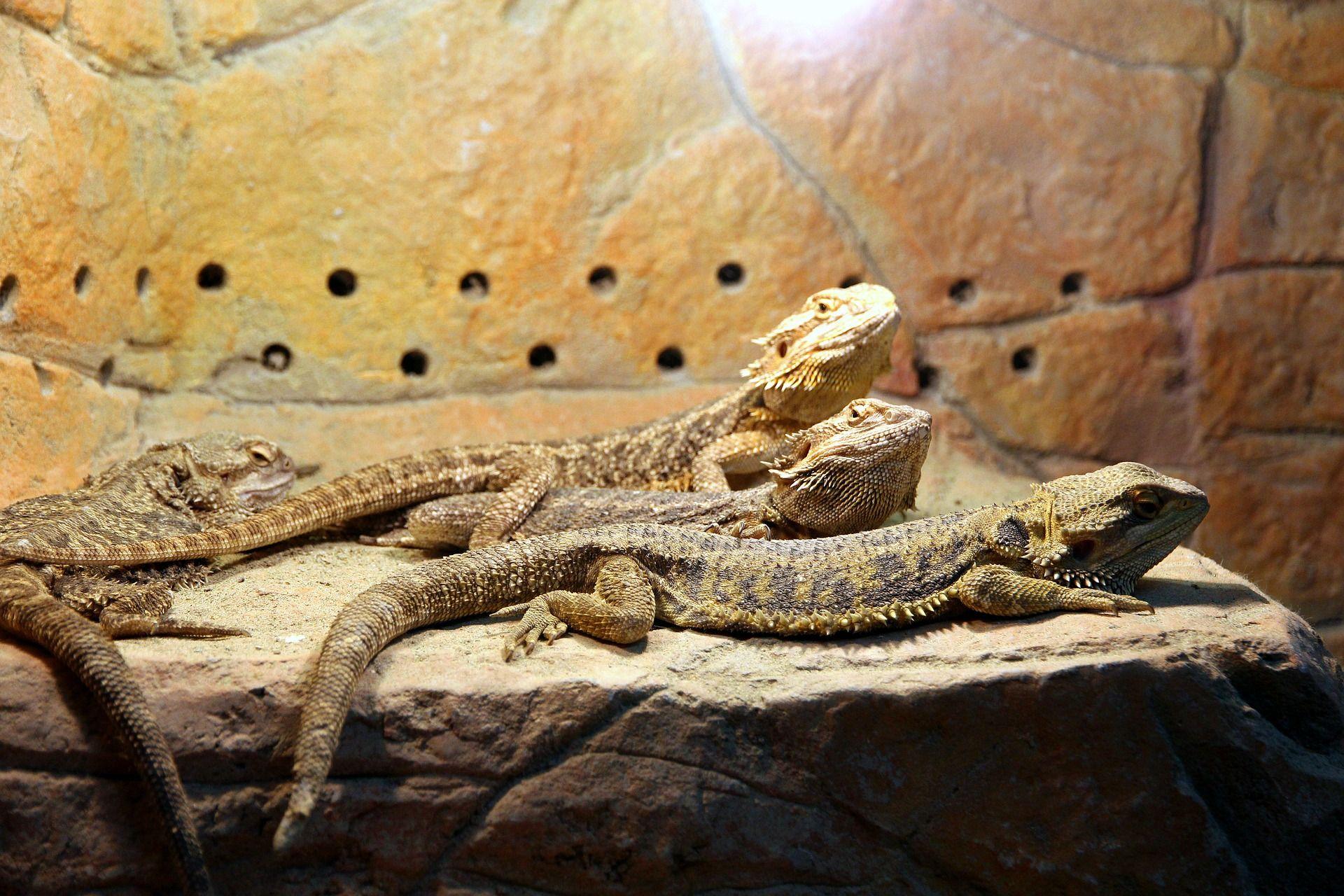 Samiec i samice agamy brodatej ogrzewają się na półce w terrarium