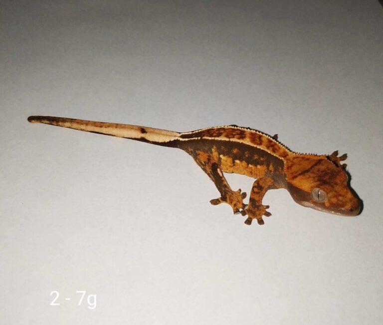 Młody gekon orzęsiony pinstripe w fireupie