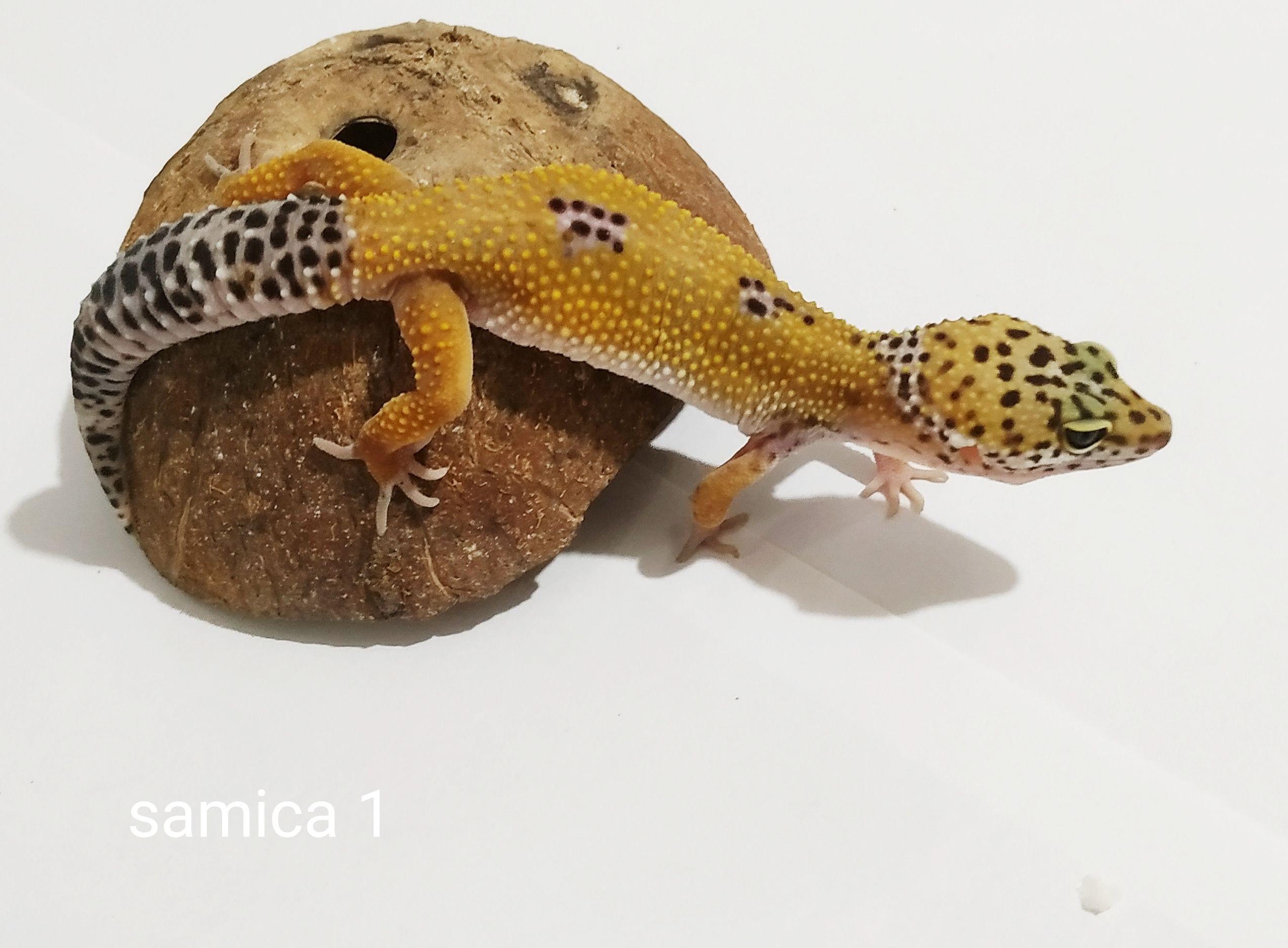 Mała samica gekona lamparciego hypo (żółta) siedzi na kokosie