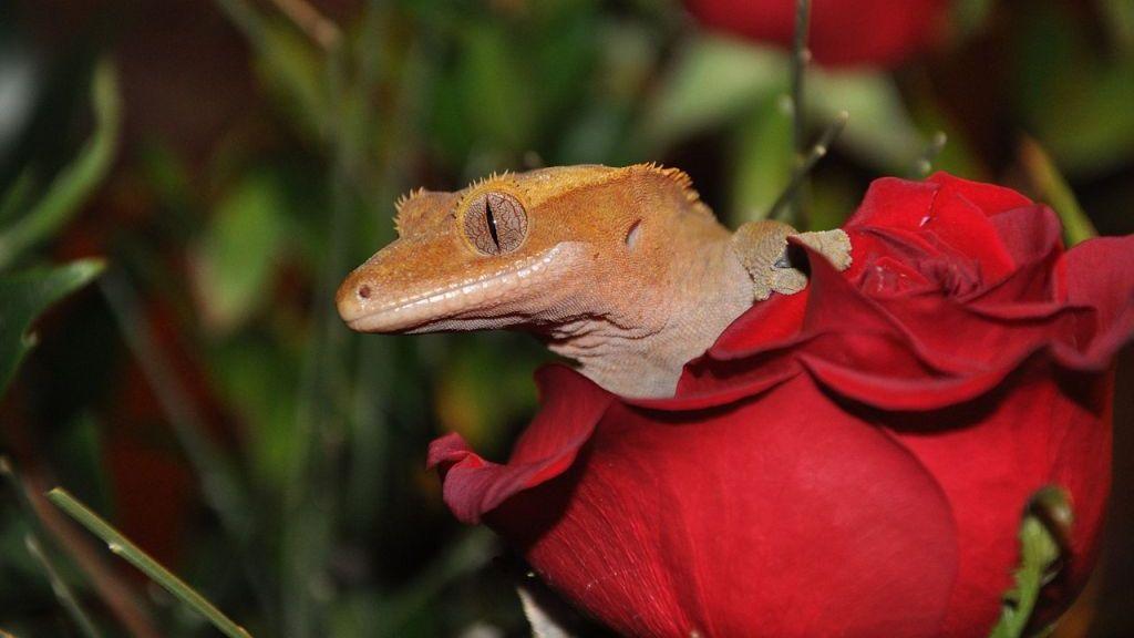 Młody gekon orzęsiony odpoczywa w róży