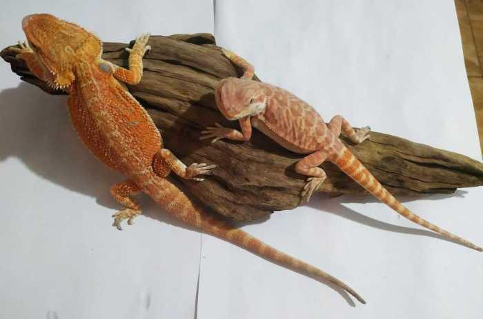 Dwa małe samce agamy brodatej odmiana orange hypo siedzą na korzeniu