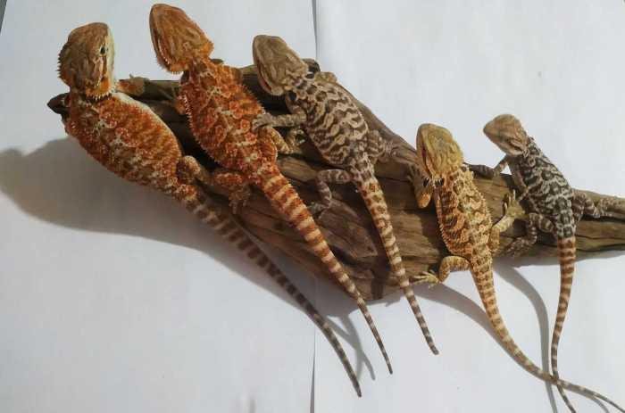 Pięć małych samców agamy brodatej odmian orange oraz yellow siedzi na korzeniu