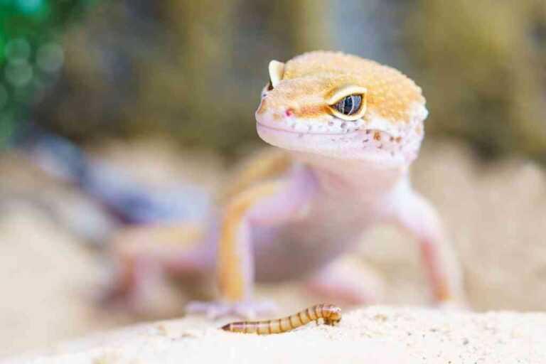 Dorosły gekon lamparci hypo je mącznika młynarka