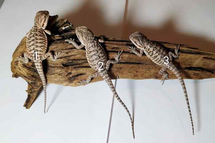 Małe agamy brodate odmiany leatherback leżą na korzeniu