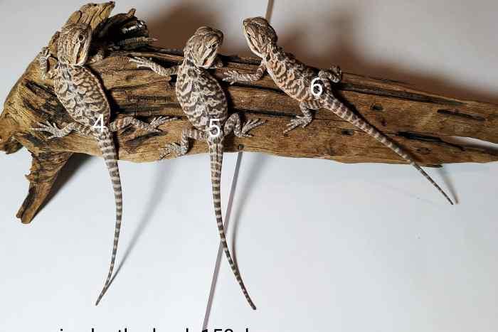 Trzy małe samice agamy brodate odmiany leatherback leżą na korzeniu