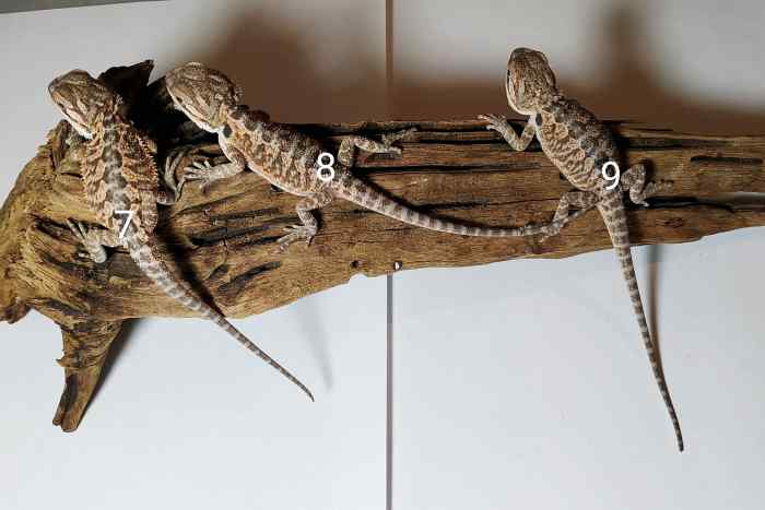 Trzy młode samice agamy brodatej leżą na korzeniu