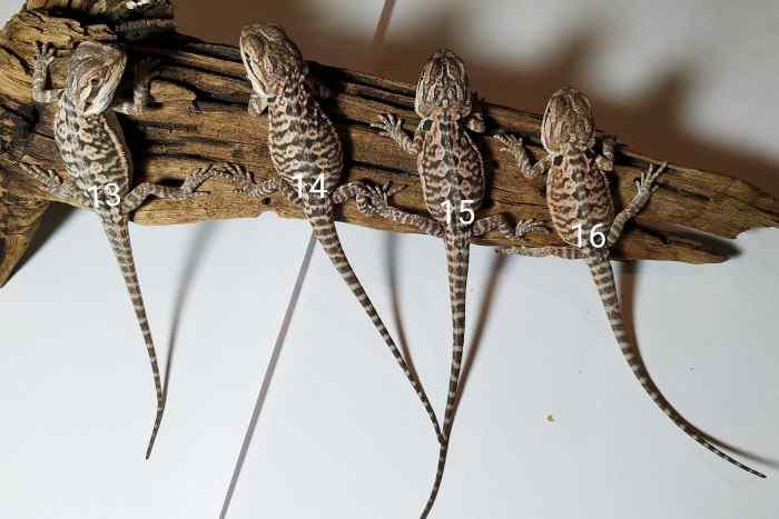 Cztery małe samce agamy brodatej odmiany leatherback leżą na korzeniu