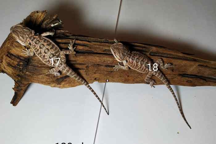 Dwie małe agamy brodatej leżą na korzeniu