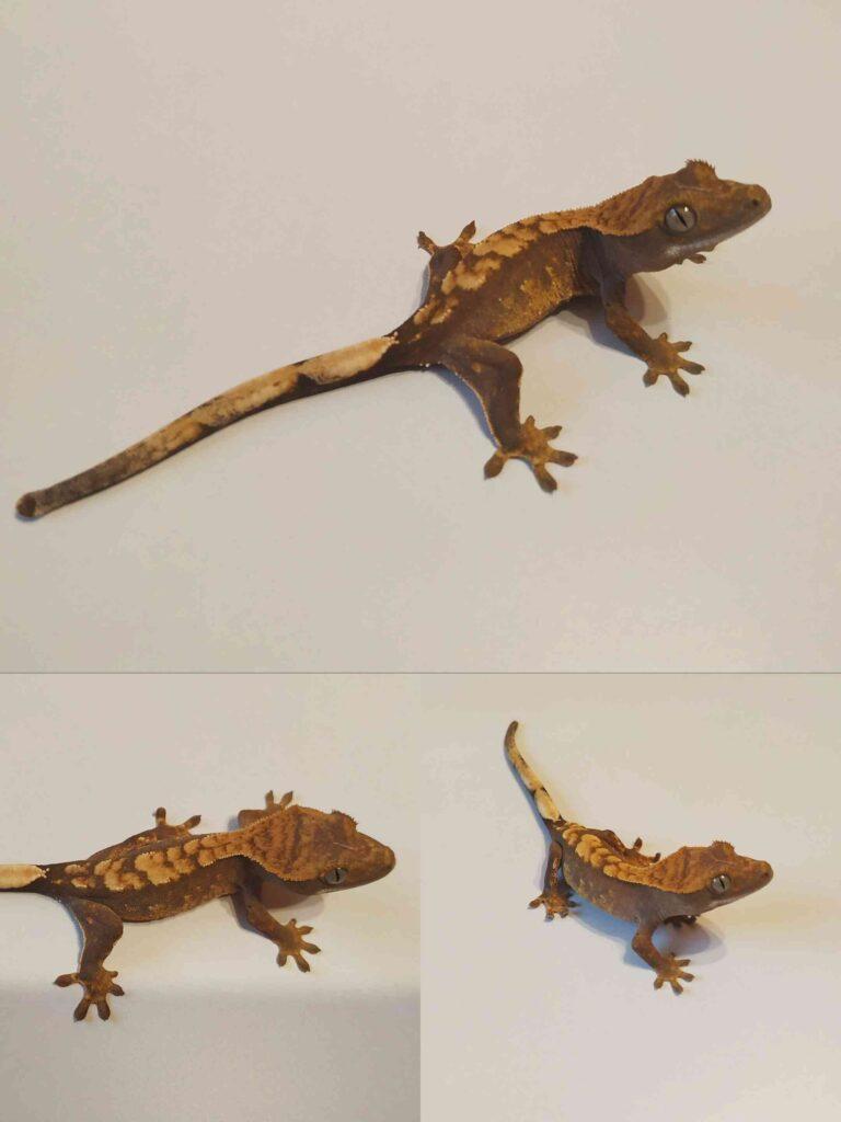 Młody gekon orzęsiony odmiany flame lub harlequin