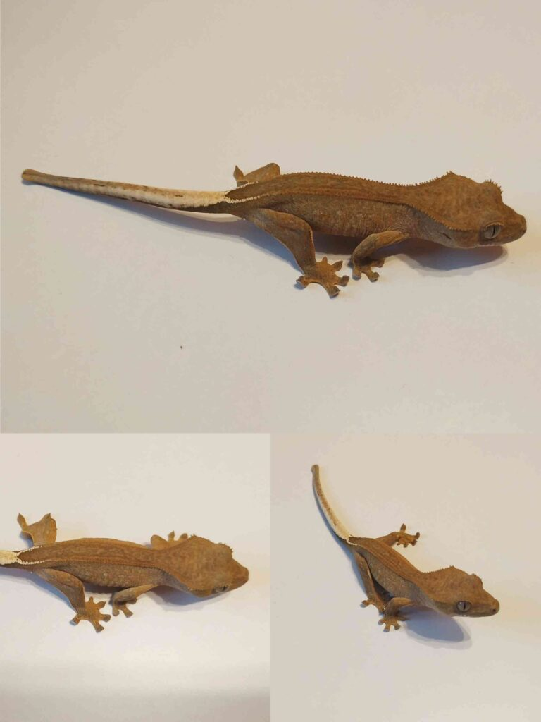 Młody gekon orzęsiony odmiany phantom pinstripe