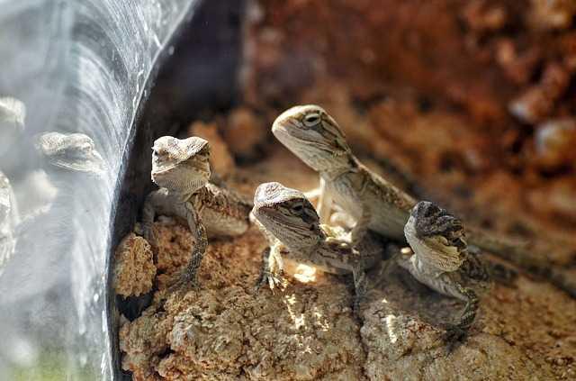 Cztery małe agamy brodate siedzą w terrarium