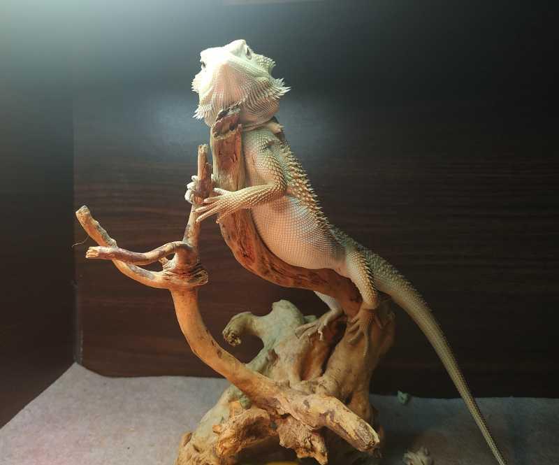 Agama brodata witblits siedzi na korzeniu w terrarium - cena
