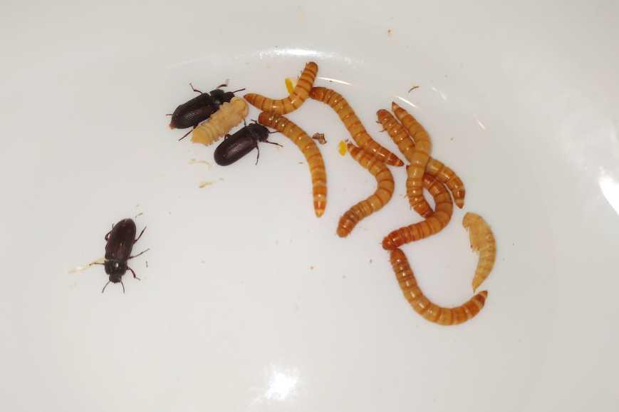 Mącznik młynarek - larwa, poczwarka i imago, dorosły żuk