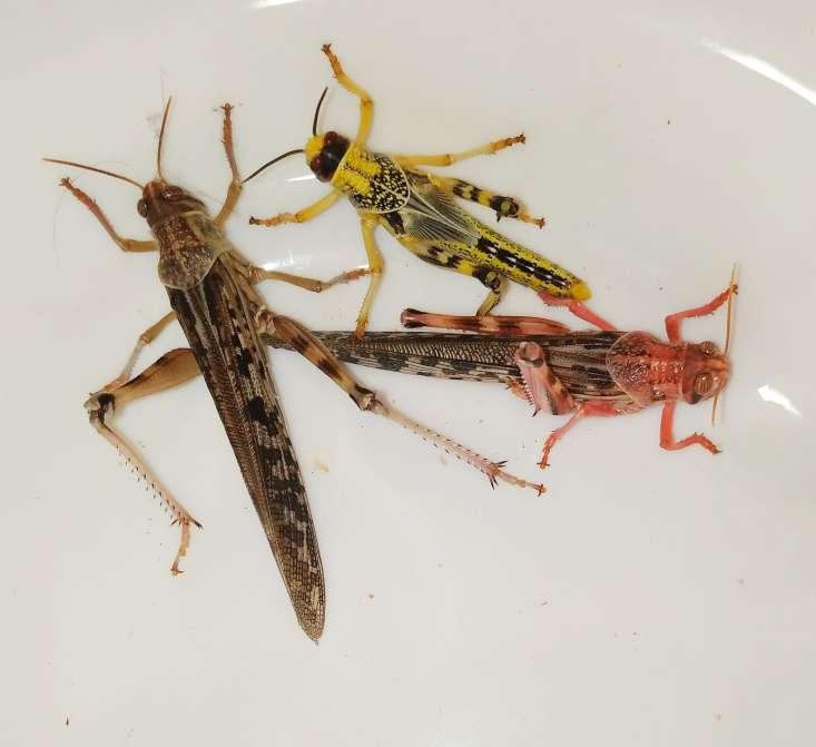 Szarańcza pustynna imago oraz subimago samca i samicy