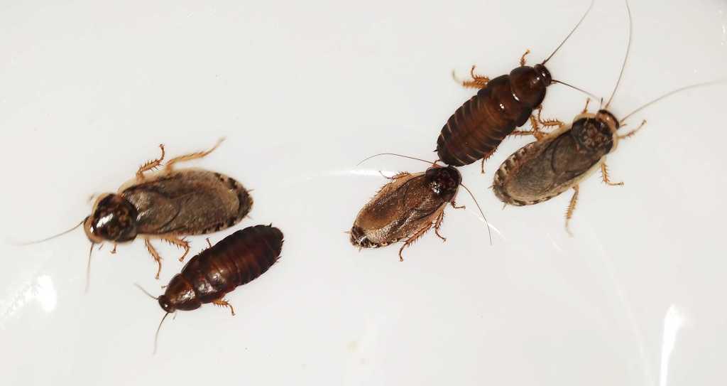 Karaczany szare samce samice i młode