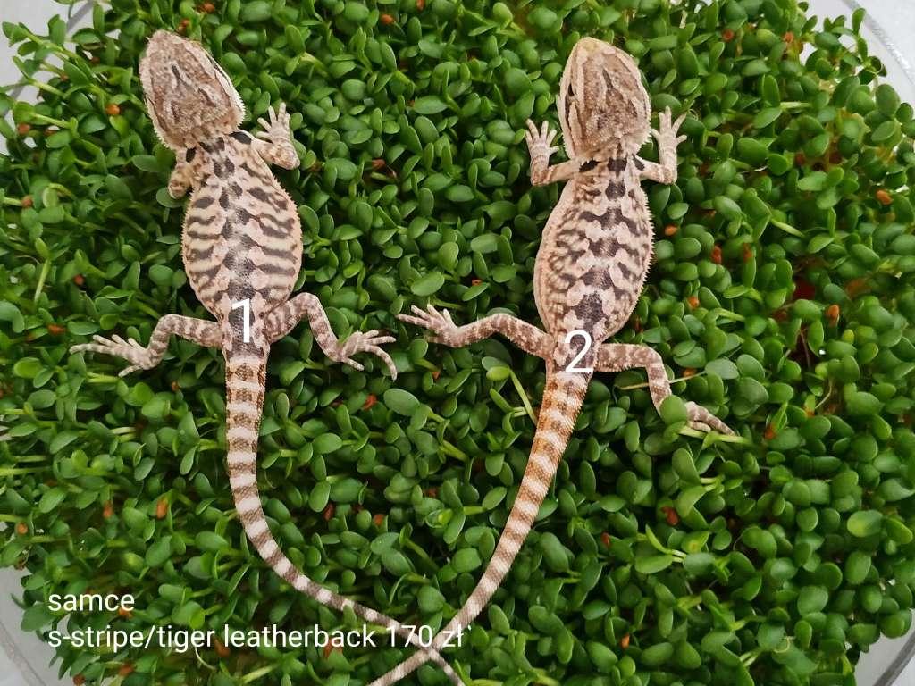 Agama brodata małe samce leatherback siedzą na zielonych kiełkach
