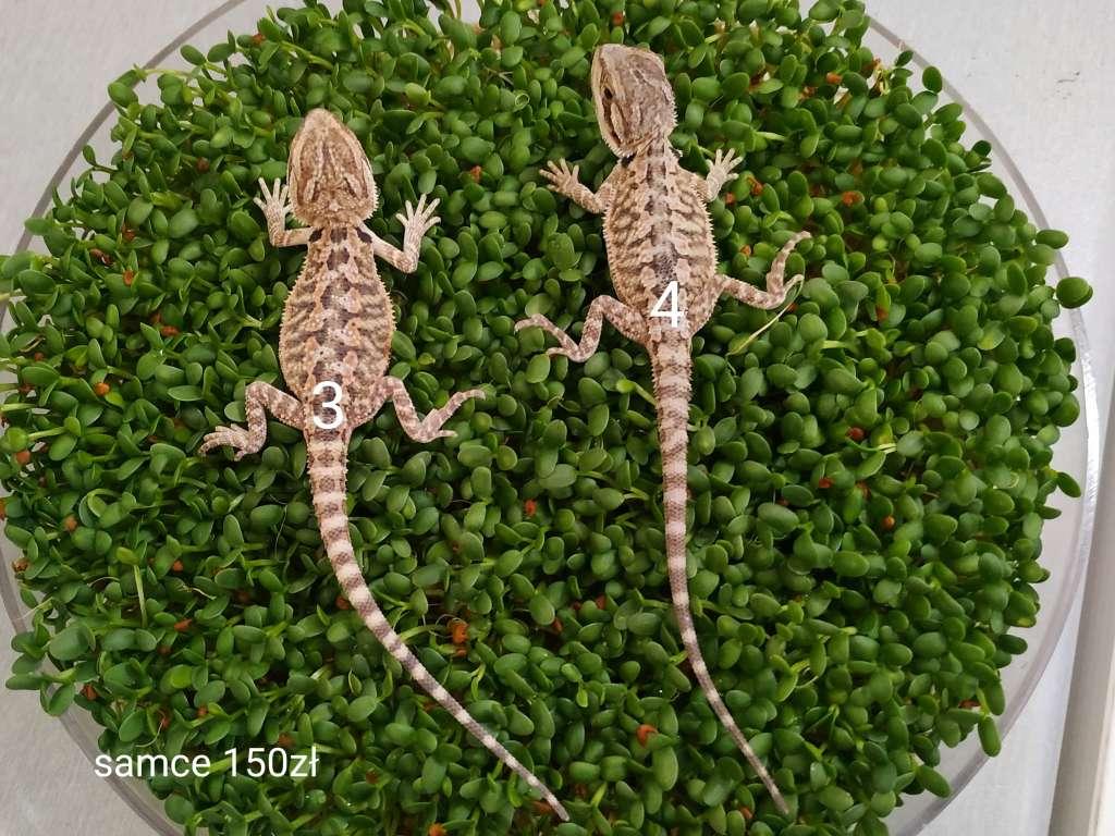 Agama brodata małe samce z kolcami na kiełkach