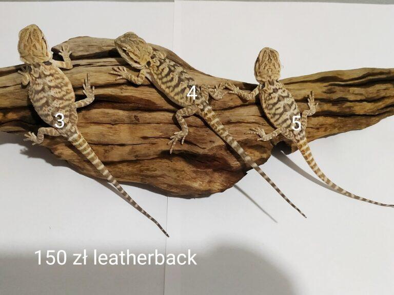Agama brodata trzy małe samce leatherback