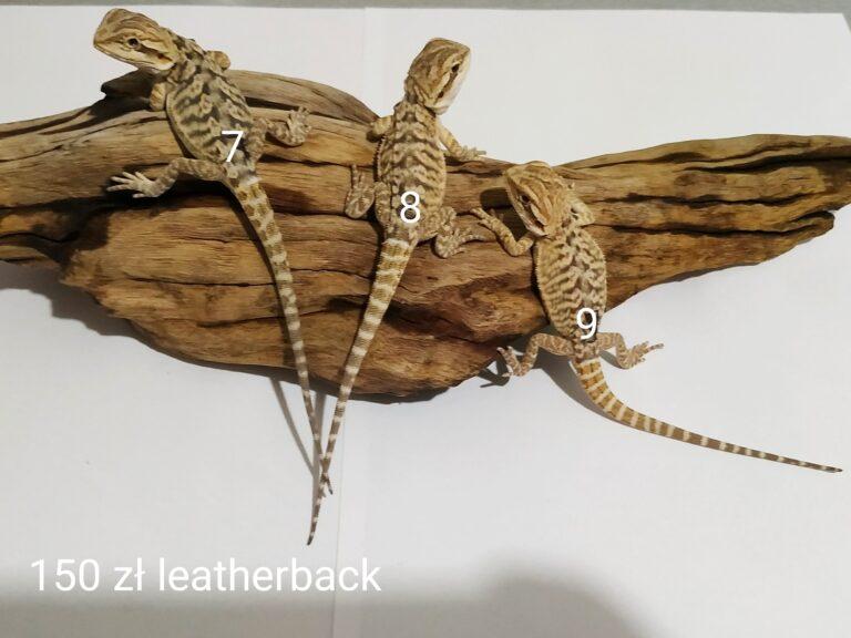 Agama brodata trzy małe samce odmiana leatherback