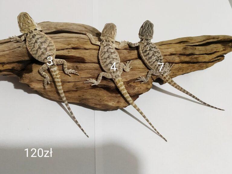 Agama brodata trzy małe samce odmiana classic