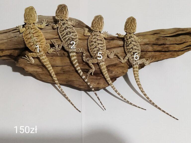 Agama brodata cztery małe samce odmiana yellow classic