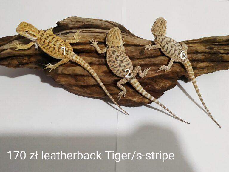 Agama brodata trzy małe samce leatherback s-stripe