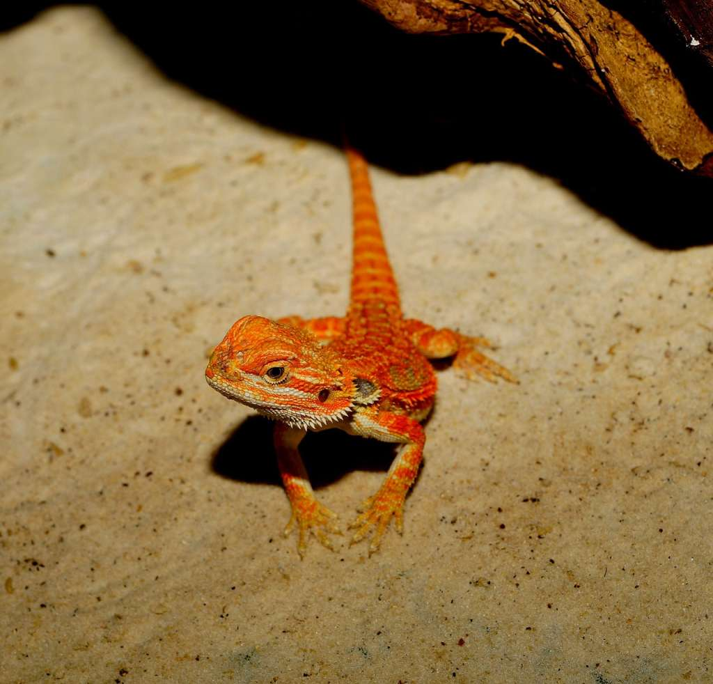 Agama brodata leży na podłożu piasku