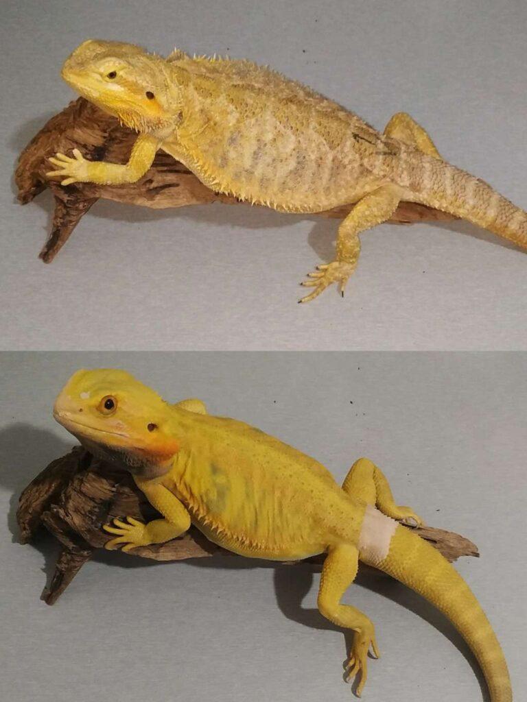 Dorosłe agamy brodate samiec odmiany hypo trans citrus i samica odmiany yellow