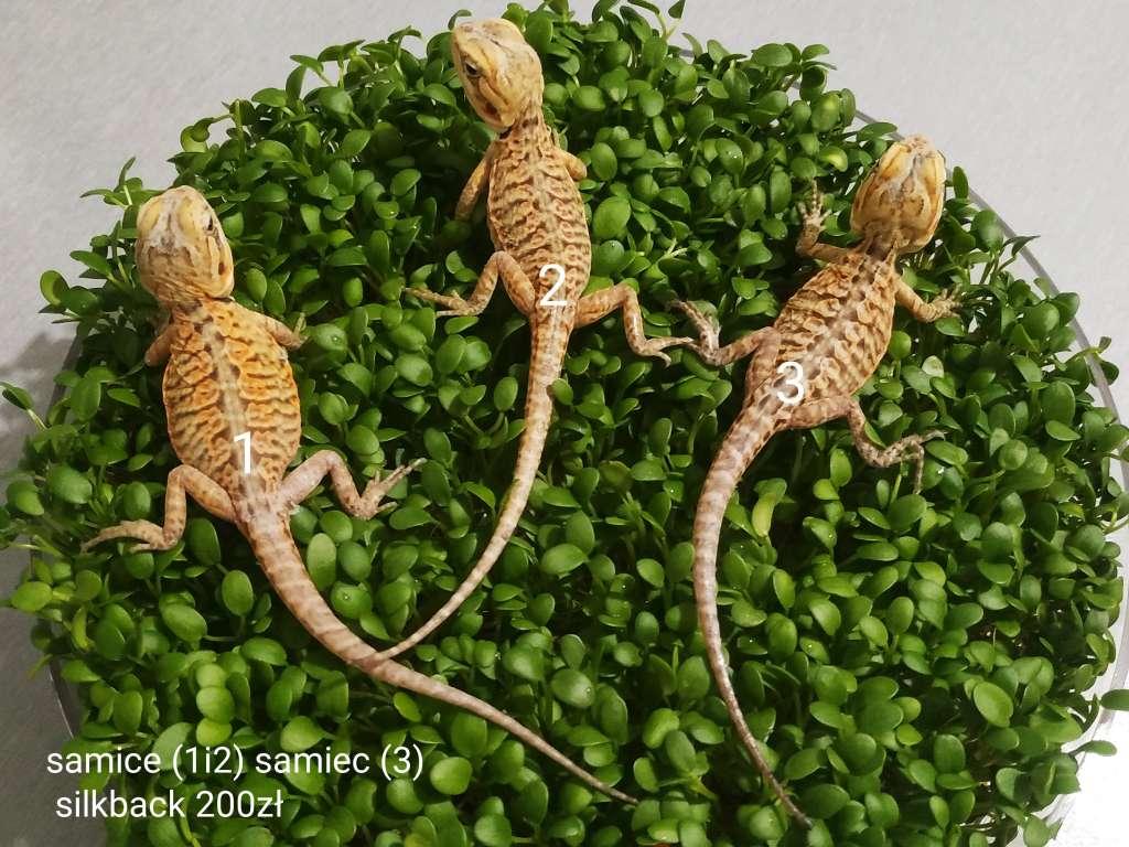 Trzy agamy brodate odmiany silkback siedzą na kiełkach koniczyny