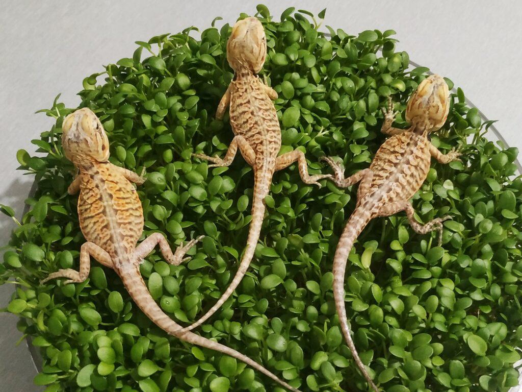Małe agamy brodate odmiany silkback