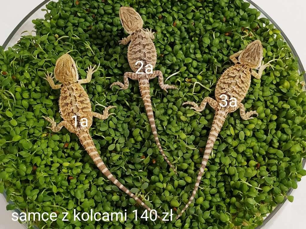 Małe samce agam brodatych z kolcami