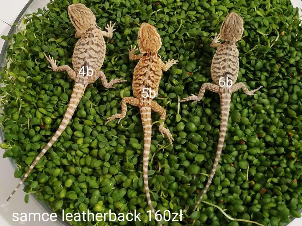 Małe samce agam brodatych odmiany leatherback na zielonych kiełkach