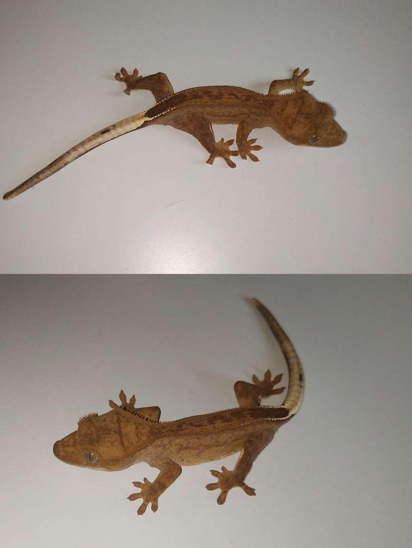 Mały gekon orzęsiony odmiany phantom pinstripe