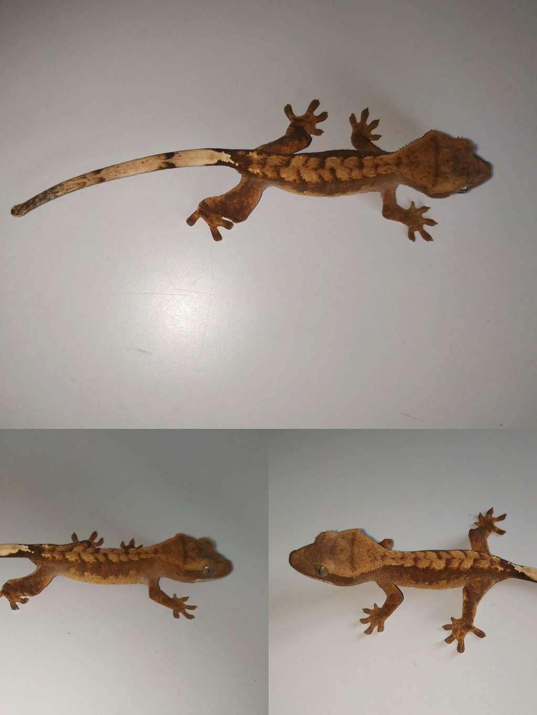Mały gekon orzęsiony odmiany flame