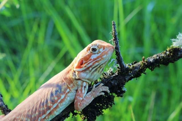 Dorosła agama brodata silkback siedzi na gałęzi, w tle zielona trawa