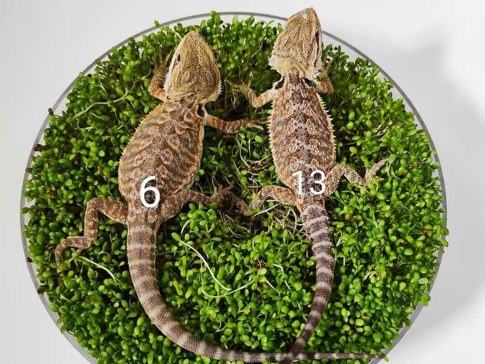 Agama brodata dwa maluchy siedzą na kiełkach koniczyny