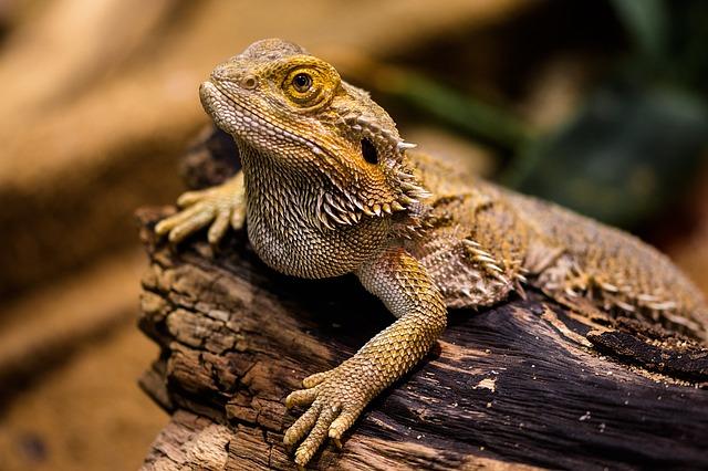 Agama leży na korzeniu w terrarium