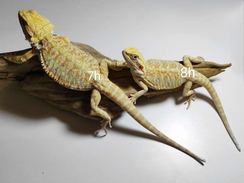Agama odmiana citrus hypo leatherback dwie samice