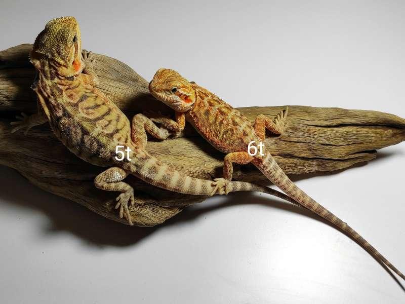 Dwie agamy brodate siedzą na korzeniu