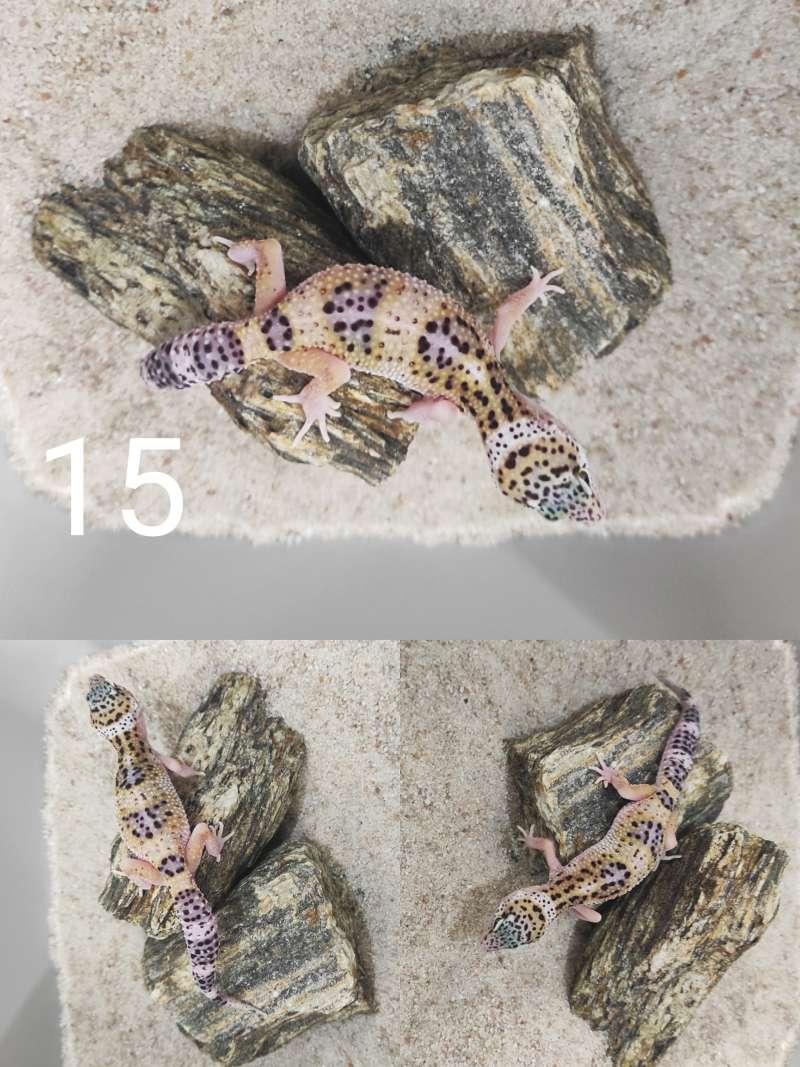 Mały gekon lamparci odmiany mack snow eclipse snake eyes siedzi na kamieniu