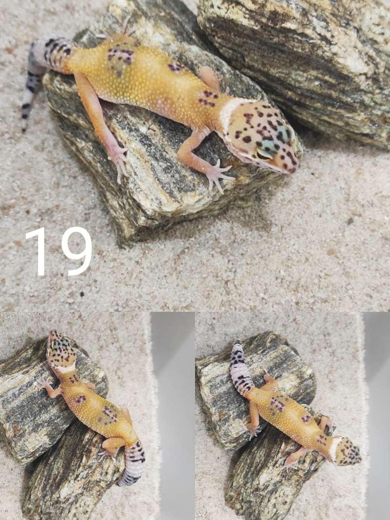 Gekon tygrysi odmiany hypo samica stoi na kamieniu