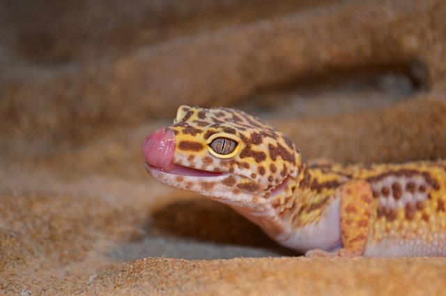 Dorosły gekon lamparci