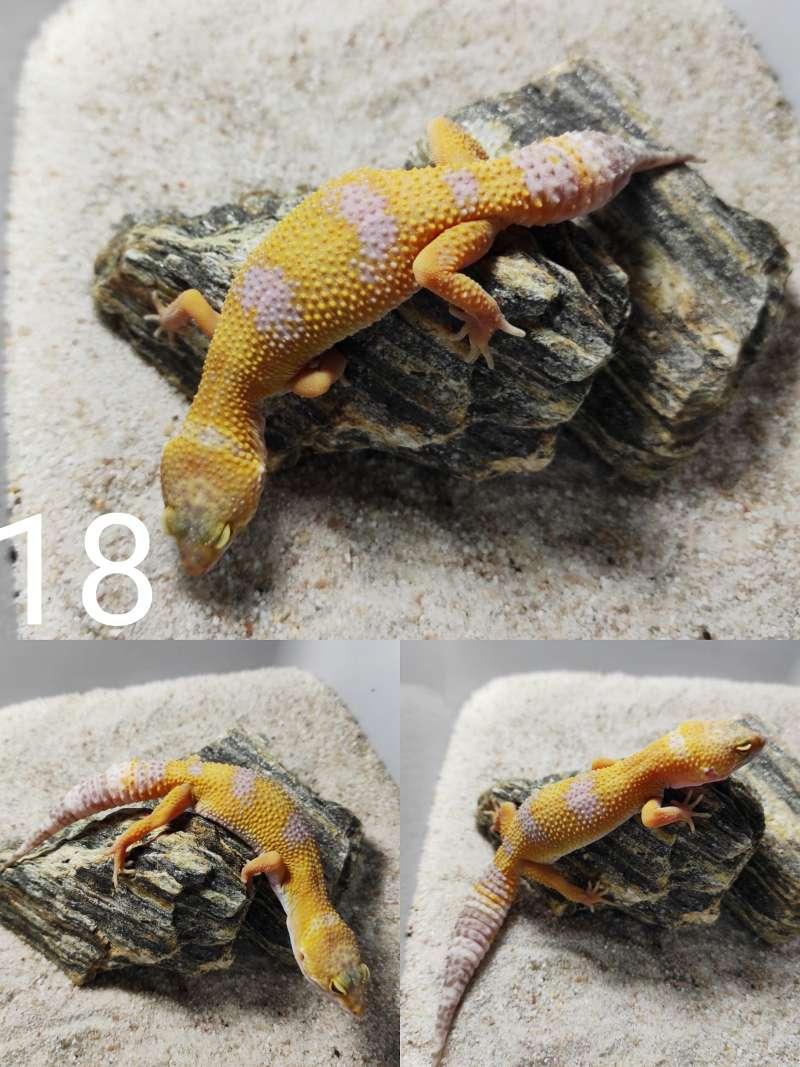 Mały gekon lamparci samica odmiany sunglow
