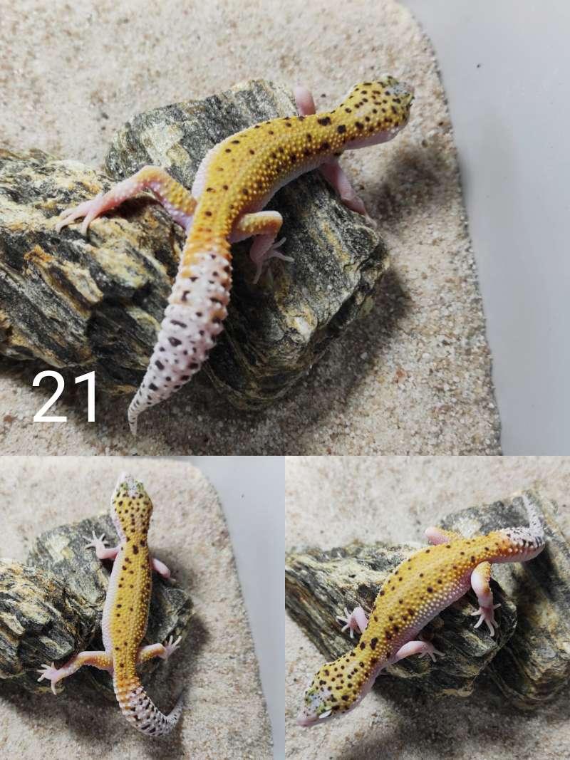 Gekon lamparci odmiana odmiana W&Y eclipse snake eyes