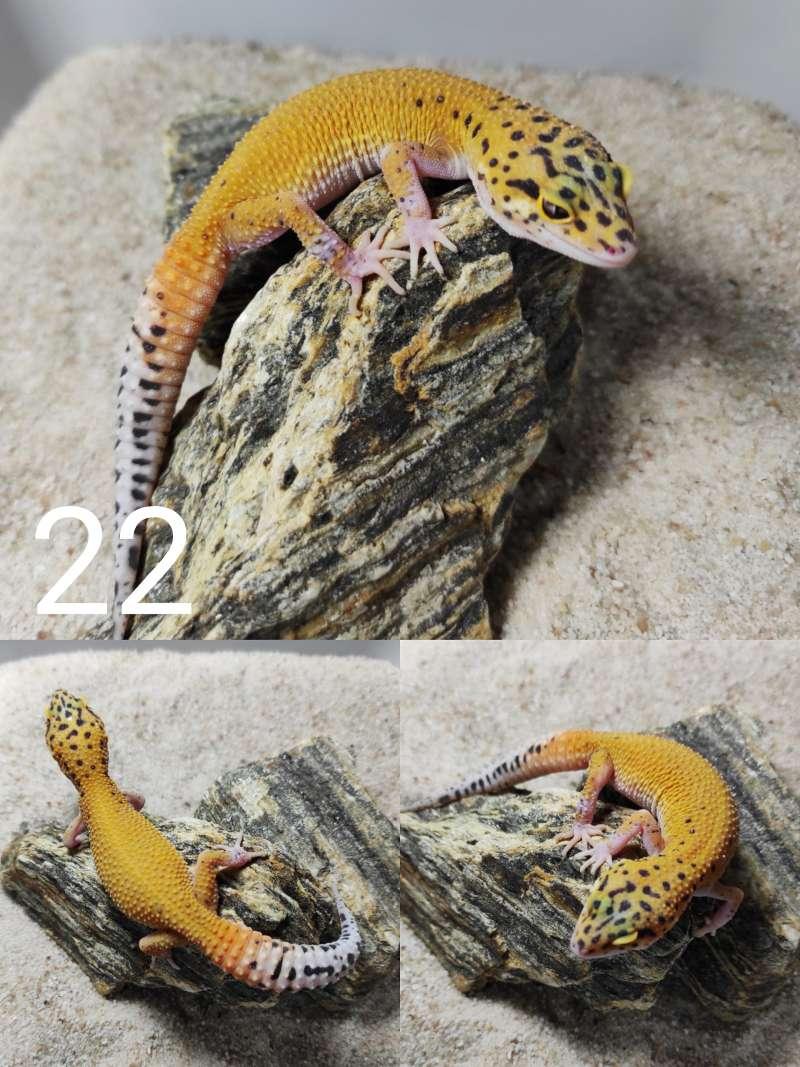 Gekon lamparci odmiana tangerine hypo eclipse snake eyes