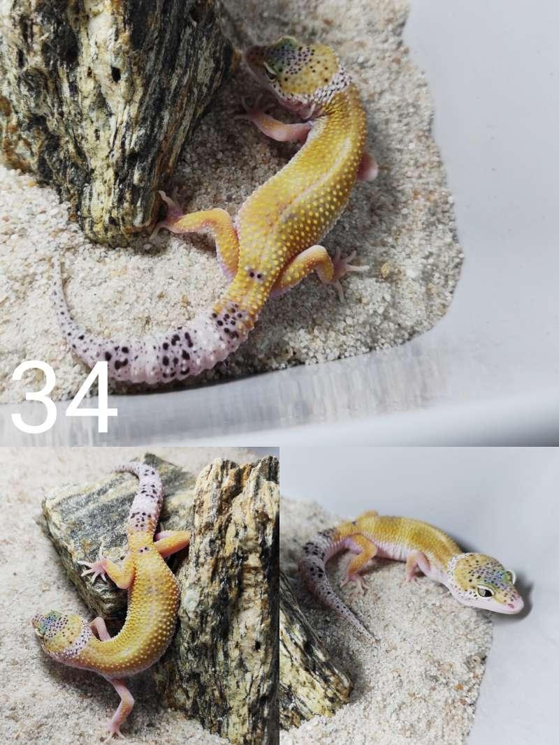 Gekon lamparci – odmiana hypo eclipse (snake eyes)