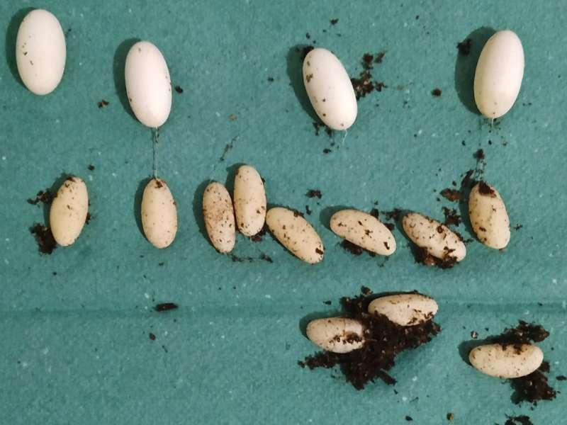 Zapłodnionei niezapłodnione jaja agamy brodatej leżą na zielonym ręczniku papierowym